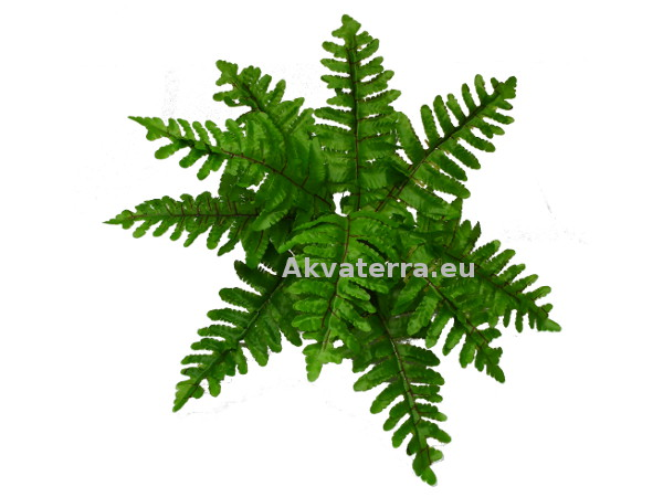 OEM Boston Fern (Saniainen) 33cm